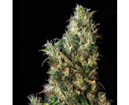 High Level Feminizada Eva Seeds
