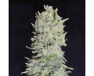 HINDU CREAM Big Buddha