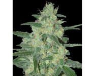 HOLY GRAIL 69 Samsara Seeds