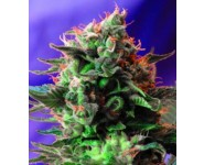 JACK 47 FAST VERSION Sweet Seeds