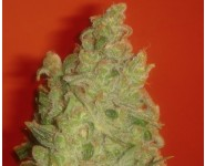 JACK LA MOTA Medical Seeds