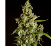 JAMAICAN BLUEBERRY BX Philosopher Seeds