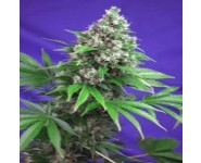 KILLER KUSH FAST VERSION Sweet Seeds