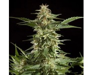 LEMON AUTO CBD Philosopher Seeds