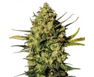 Semillas Autoflorecientes White Widow