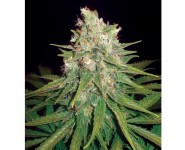 MAZAR X GREAT WHITE SHARK World Of Seeds