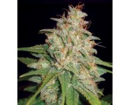 MAZAR X WHITE RHINO World Of Seeds