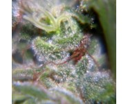 NEVILLE HAZE Female Seeds