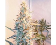 OUTDOOR GRAPEFRUIT Female Seeds