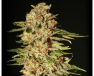 Papas Candy Eva Seeds