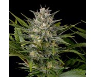 PINNEAPPLE SKUNK Humboldt Seed