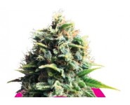 PINNEAPPLE KUSH Royal Queen Seeds