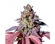 PURPLE QUEEN Royal Queen Seeds