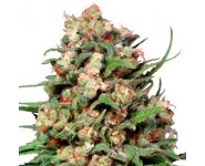 Semillas Regulares Skunk