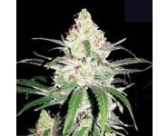 SPECIAL LIME HAZE Bulk Seed Bank