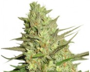 SPECIAL QUEEN #1 Royal Queen Seeds