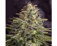 Semillas Feminizadas Sticky Dream