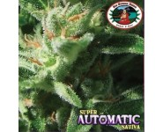 SUPER AUTOMATIC SATIVA Big Buddha