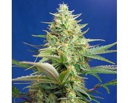 SWEET PURE AUTO CBD Sweet Seeds