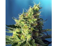 SWEET PURE CBD Sweet Seeds