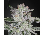 Semillas Feminizadas Sweet Valley Kush