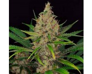 Semillas Road Dawg Karma Genetics