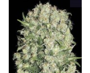 WHITE PRUSSIAN Bulk Seed Bank