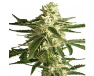 WHITE DIESEL HAZE AUTOMATIC White Label