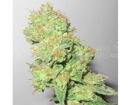 Y GRIEGA CBD Medical Seeds