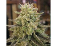 ZAMAL HASH Ace Seeds