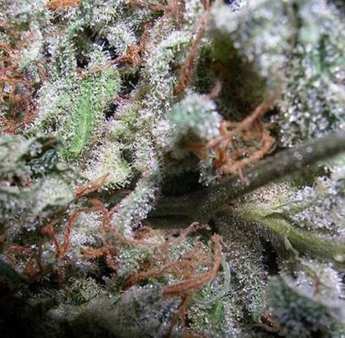 Mix Indica Paradise Seeds