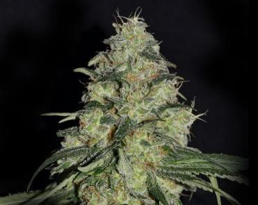 Graines White Dragon Eva Seeds