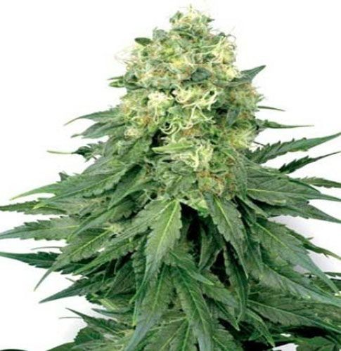 Graines cannabis White Widow