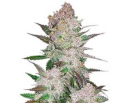 Graines autoflorissantes Cream Cookies