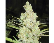 1024 Graines Medical Seeds