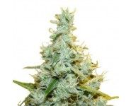 Graines AMG Royal Queen Seeds
