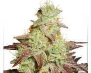Graines autofloraison Night Queen