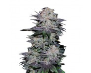 Graines autoflorissantes Blackberry