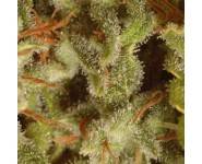 Mix sativas Paradise Seeds