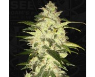 CHOCOLATE CHUNK TH Seeds
