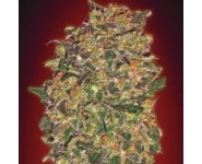 Graines Chocolate Kush 00