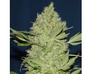 Graines cannabis Chronic