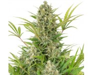Graines autoflorissantes Critical Cheese