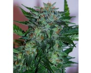 Graines Flash Babylon Auto