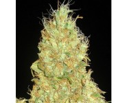 FRUITY CHRONIC JUICE Delicious Seeds