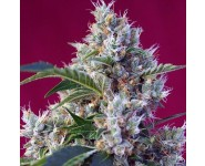 INDIGO BERRY KUSH Sweet Seeds