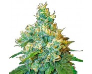 Graines Jack Herer Sensi Seeds