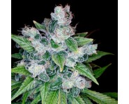 Graines cannabis Kandy Kush