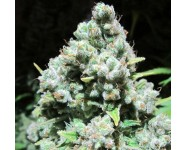 MALAKOFF Medical Seeds