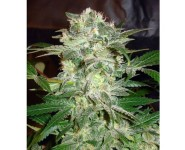 MAZAR KUSH World Of Seeds